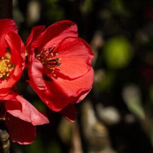 Flora VI - Chaenomeles japonica close-up by stephane loustalot