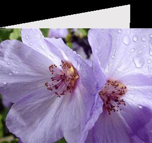 close-up photograph of a purple aubrieta