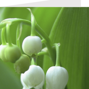 lilly of the valley, flowers close-up by stephane loustalot