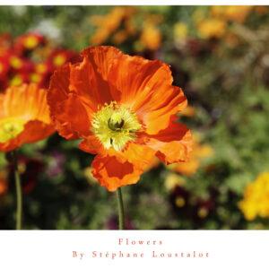 Affordable photograph, frame or unframed -sand poppy, flowers by stephane loustalot